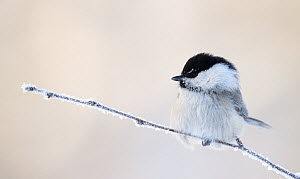 Willow tit (Poecile montanus) perched on frost covered twig, Kuusamo, Finland, February  -  Markus Varesvuo