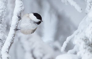 Willow tit (Poecile montanus) on snow covered branch, Kuusamo, Finland, January - Markus Varesvuo