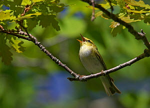 Wood warbler (Phylloscopus sibilatrix) on branch singing, Estonia, May  -  Markus Varesvuo