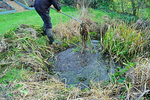 Man clearing overgrown vegetation from small wildlife garden pond to encourage newts and toads, Norfolk, England, December 2011.  -  Gary K. Smith