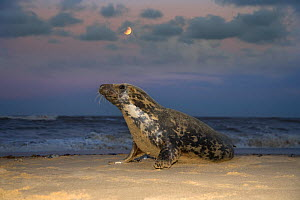 Grey seal (Halichoerus grypus) on beach at night with rising moon, Norfolk, UK December  -  Ernie Janes