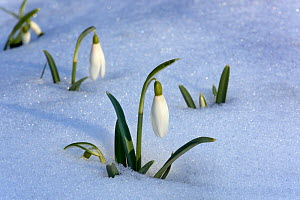 Snowdrops (Galanthus nivalis) in snow, UK February - Ernie Janes