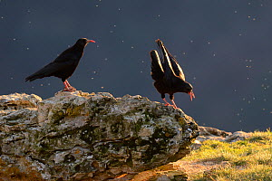 Red-billed chough (Pyrrhocorax pyrrhocorax)  perched on rock with one on right calling, Gorges du tarn, France, January.  -  Fabrice Cahez