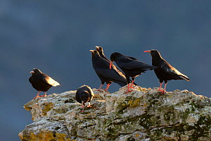 Red-billed chough (Pyrrhocorax pyrrhocorax)  group perched on rock, Gorges du tarn, France, January.  -  Fabrice Cahez