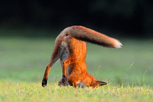 Red fox (Vulpes vulpes) pouncing on prey, Vosges, France, September.  -  Fabrice Cahez