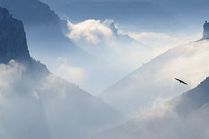 Eurasian griffon vulture (Gyps fulvus) in flight above clouds, Gorges du Tarn, France, January.  -  Fabrice Cahez