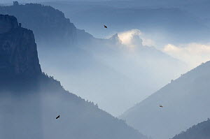 Eurasian griffon vulture (Gyps fulvus) group in flight above clouds, Gorges du Tarn, France, January.  -  Fabrice Cahez
