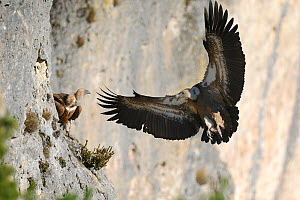 Eurasian griffon vulture (Gyps fulvus) arriving back at nest to feed chick, Gorges de la Jonte, France, January.  -  Fabrice Cahez