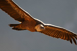 Eurasian griffon vulture (Gyps fulvus) in flight, Gorges de la Jonte, France, January.  -  Fabrice Cahez