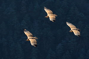 Eurasian griffon vulture (Gyps fulvus) three in flight, Gorges de la Jonte, France, January.  -  Fabrice Cahez