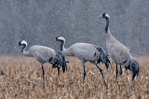 Common crane (Grus grus) walking through field in snow, Lake du Der, Champagne, France. February  -  Fabrice Cahez