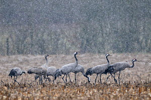 Common crane (Grus grus) group standing in field during snow shower, Lake du Der, Champagne, France. February  -  Fabrice Cahez