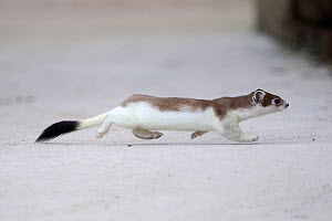 Stoat (Mustela erminea) in partial winter coat running in snow, Champagne, France, Februray. - Fabrice Cahez