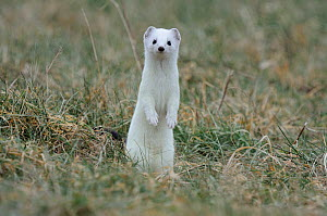 Stoat (Mustela erminea) in winter coat, standing up on back legs looking at camera, Champagne, France, Februray.  -  Fabrice Cahez