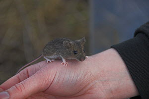 Young hand raised House mouse (Mus musculus) on persons hand before release, Scotland - Colin Seddon