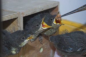 Hand reared Dipper (Cinclus cinclus) nestlings feeding, UK - Colin Seddon