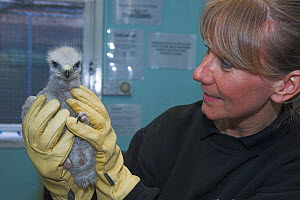 Woman holding Common buzzard (Buteo buteo) nestling in care, UK - Colin Seddon