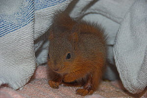 Juvenile Red squirrel (Sciurus vulgaris) in care, UK - Colin Seddon