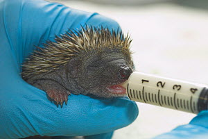 Baby orphaned Hedgehog (Erinaceus europaeus) feeding from syringe, UK - Colin Seddon