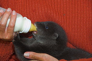 European river otter (Lutra lutra) cub in care, drinking from bottle, UK - Colin Seddon