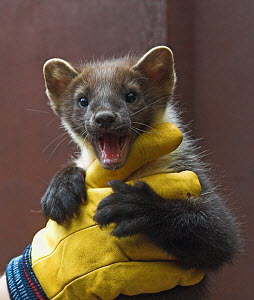 Juvenile Pine marten (Martes martes) calling while held in gloved hands, in care, UK - Colin Seddon