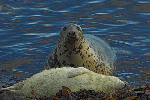 Grey seal (Halichoerous grypus) cow at waters edge watching sleeping pup, Scotland, November - Colin Seddon