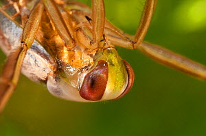 Backswimmer / Water Boatman (Notonecta glauca) portrait showing compound eyes. Czech Republic. Controlled conditions.  -  Jan Hamrsky