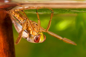 Backswimmer / Water Boatman (Notonecta glauca) suspended beneath water surface. Czech Republic. Controlled conditions.  -  Jan Hamrsky