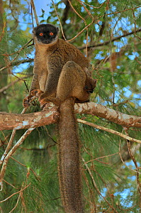 Red frontal brown / Southern red-fronted brown lemur (Eulemur fulvus rufus) sitting on branch in forest canopy, Madagascar. - Loic Poidevin
