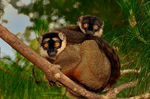 Red frontal brown / Southern red-fronted brown lemur (Eulemur fulvus rufus) two cuddled up together sitting on branch in forest canopy, Madagascar. - Loic Poidevin