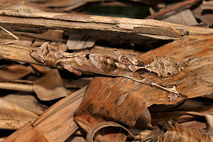 Leaf tailed gecko (Uroplatus phantasticus) concealed in amongst dry leaves, Madagascar.  -  Loic Poidevin