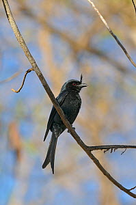 Madagascar crested drongo (Dicrurus forficatus) perched on branch, Madagascar. - Loic Poidevin