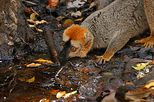 Red frontal brown lemur (Eulemur fulvus rufus) drinking from a forest stream, Madagascar. - Loic Poidevin