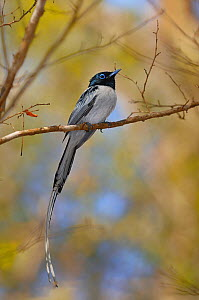 Malagasy paradise flycatcher (Terpsiphone mutata)white phase, male perched on branch, Madagascar. - Loic Poidevin