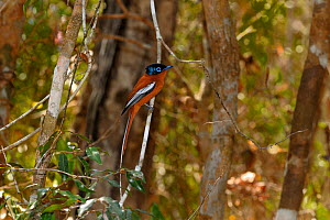 Malagasy paradise flycatcher (Terpsiphone mutata)perched on branch, Madagascar. - Loic Poidevin