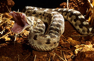 Desert horned viper (Cerastes cerastes) with mouth wide about to strike, Captive, from Morocco  -  Daniel Heuclin