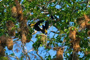 Yellow-rumped cacique (Cacicus cela) two flying to nests, River Yapaquari, Bolivia.  -  Daniel Heuclin