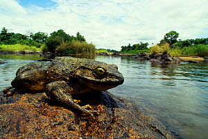 Goliath frog (Conraua goliath) sitting on rock on side of river, Cameroon.  -  Daniel Heuclin