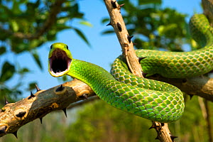 Green tree snake (Phyllodryas viridissima) on a branch about to stike, Bolivian Amazonia, controlled conditions - Daniel Heuclin
