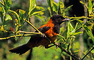 Hooded pitohui (Pitohui dichrous) perched in tree, poisonous bird, Papua-New-Guinea.  -  Daniel Heuclin