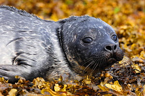 Common seal (Phoca vitulina) pup on exposed rocks at low tide, Isle of Skye, Inner Hebrides, Scotland, July - Laurie Campbell