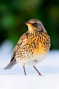 Fieldfare (Turdus pilaris) on snow covered lawn, Berwickshire, Scotland, February  -  Laurie Campbell