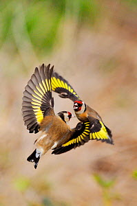 Goldfinches (Carduelis carduelis) squabbling near seed feeder in garden, Berwickshire, Scotland, April  -  Laurie Campbell