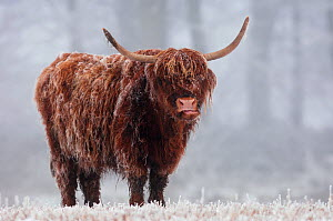 Highland cow (Bos taurus) in freezing fog, Berwickshire Scotland, December - Laurie Campbell