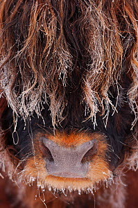 Highland bull (Bos taurus) face close up in freezing fog, Berwickshire Scotland, December  -  Laurie Campbell