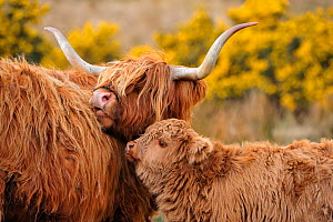 Highland cow (Bos taurus) female with calf, Isle of Mull, Inner Hebrides, Scotland, April - Laurie Campbell