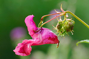 Himalayan / Indian balsam (Impatiens glandulifera) flower, Northumberland, England, August  -  Laurie Campbell