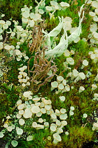 Community of Lichens and Mosses growing together on upland wet heath habitat, Inverness-shire, Scotland, September  -  Laurie Campbell