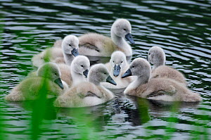 Mute swans (Cygnus olor) newly hatched cygnets on pond, Yetholm Loch Scottish Wildlife Trust Reserve, Roxburghshire, Scotland, May  -  Laurie Campbell