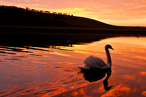 Mute swan (Cygnus olor) on River Tweed at sunset, Berwickshire, Scotland, January 2009  -  Laurie Campbell